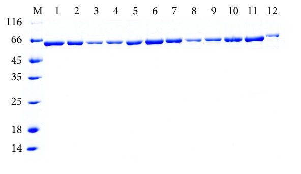 SDS-PAGE analysis of recombinant Bst DNA pol LF and mutant enzymes purified by one-step affinity chromatography. M: protein ladder marker shown in kDa on the left sides of panels; 1: WT Bst DNA pol LF; 2: LF mutant D540A; 3: LF mutant D540E; 4: LF mutant G310A; 5: LF mutant G310L; 6: LF mutant R412A; 7: LF mutant R412E; 8: LF mutant K416A; 9: LF mutant K416D; 10: LF mutant G310A-D540E; 11: LF mutant G310L-D540E; 12: commercial Bst 2.0 DNA polymerase.