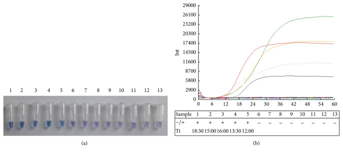 "Visual IMSA assay and sensitivity evaluation of IMSA assay to test EV71. (a) Visual detection was performed with IMSA assay by adding HNB dye prior to amplification procedure. The color of sky blue demonstrates positive reactions while the color of violet demonstrates negative reactions. The number of the tube indicates IMSA reaction, respectively, as follows: 1: commercial Bst 2.0 DNA polymerase; 2: WT of Bst DNA pol LF; 3: LF mutant D540E; 4: LF mutant G310A; 5: LF mutant G310L; 6: LF mutant D540A; 7: LF mutant R412A; 8: LF mutant R412E; 9: LF mutant K416A; 10: LF mutant K416D; 11: LF mutant G310A-D540E; 12: LF mutant G310L-D540E; 13: negative control. (b) Fluorescence signals on real-time PCR instrument. Fluorescence values and curves were evaluated with Deaou-308C constant temperature fluorescence detection equipment. The reaction order in (b) table was arranged the same as tubes number in (a). The sign of ""+"" indicates positive reactions while ""−"" indicates negative reactions. Reactions 1–5 were able to amplify VP1 gene to detect EV71. The curves in different colors represent distinct proteins in IMSA reaction. Curve in black and ""reaction 1"" represent commercial Bst 2.0 DNA polymerase. Curve in green and ""reaction 2"" represent WT of Bst DNA pol LF. Curve in orange and ""reaction 3"" represent LF mutant D540E. Curve in pink and ""reaction 4"" represent LF mutant G310A. Curve in red and ""reaction 5"" represent LF mutant G310L."