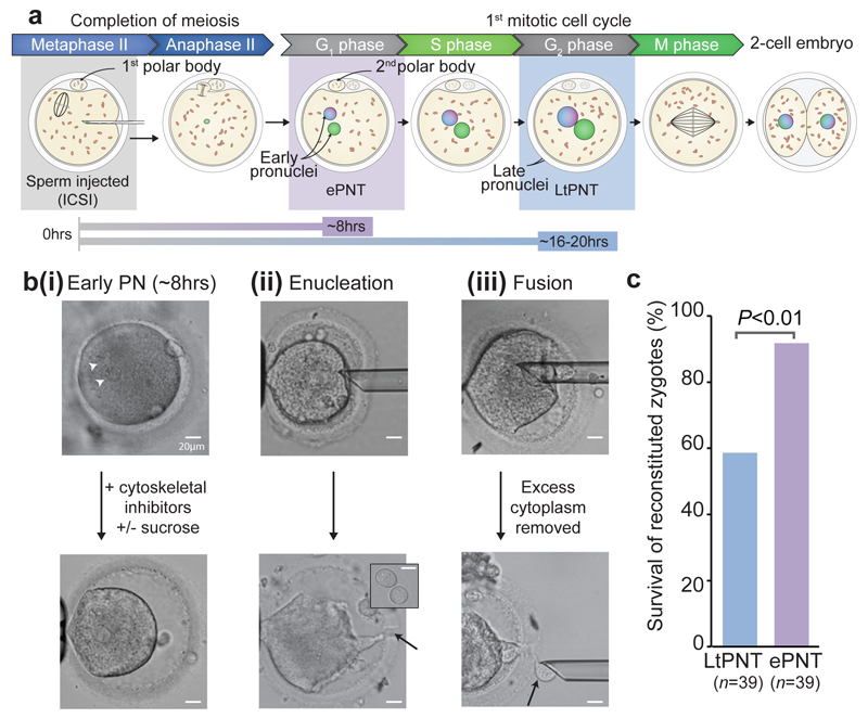 Early PNT promotes survival of normally fertilized zygotes following PNT. a , Progression from MII arrest to completion of the 1st mitosis showing timings of early PNT (ePNT) and late PNT (LtPNT) b , Images show the steps involved in ePNT (i) Arrowheads indicate the pronuclei (PN) (ii) Enucleation pipette inserted through a laser-induced opening in the zona <t>pellucida</t> (arrow, bottom panel). Lower panel, enucleated zygote (cytoplast). Inset shows two karyoplasts, each consisting of a single PN surrounded by a small amount of cytoplasm. (iii) Karyoplasts treated with HVJ-E and inserted under the zona pellucida. Lower panel, arrow indicates removal of excess cytoplasm (see Video 2 ). c , Survival of reconstituted ePNT and LtPNT zygotes ( P