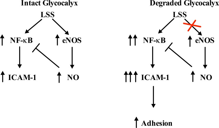 Model for the molecular adhesion pathway altered with degradation. Flow diagram illustrating how glycocalyx degradation interrupts the negative feedback loop regulating NF-κB activity. When the glycocalyx is degraded, NO levels are inhibited resulting in increased NF-κB activity. This results in the over-stimulation/activation of ECs evidenced by an increase in ICAM-1 and leukocyte adhesion.