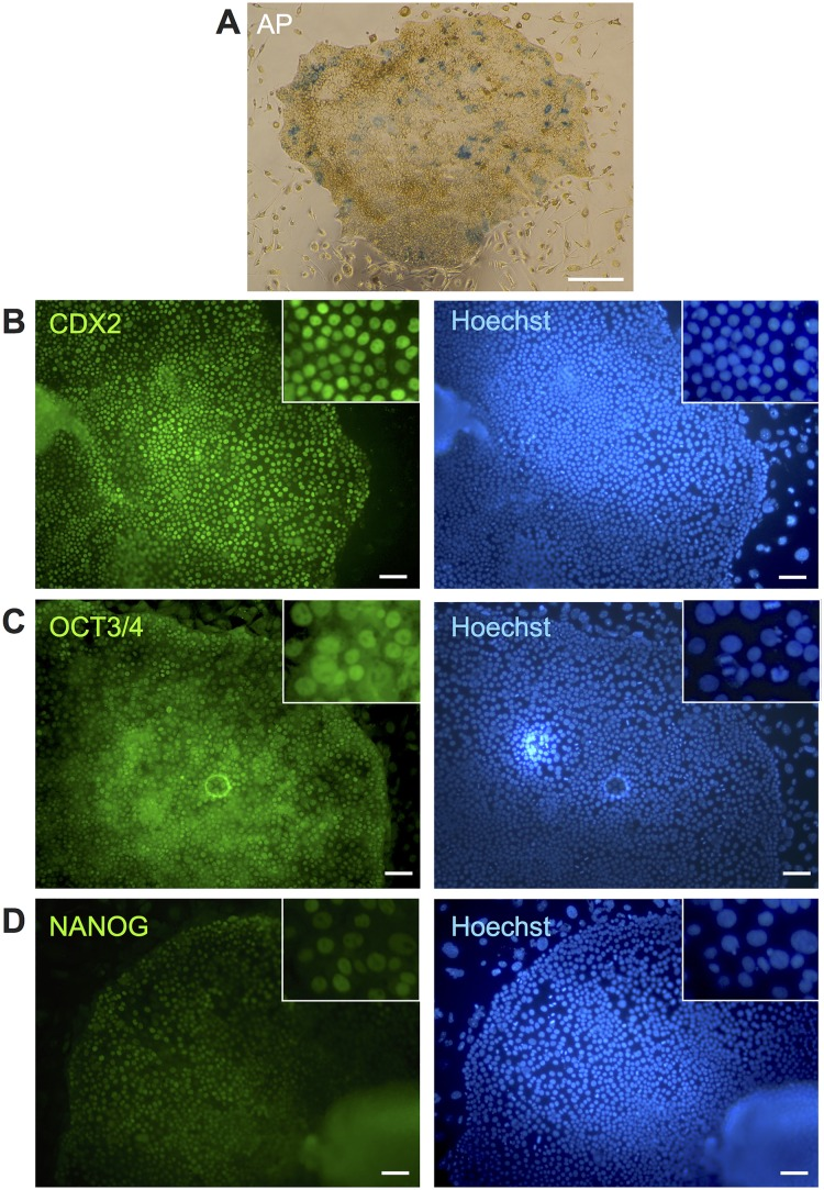 Characterization of bovine-induced trophoblastic cells (biTBCs). (A) Alkaline phosphatase activity in biTBCs. (B) CDX2 expression in biTBCs. (C) OCT3/4 expression in biTBCs. (D) NANOG expression in biTBCs. (A) scale bars = 500 μm. (B)-(D) scale bars = 100 μm.