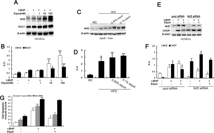 Equol attenuated ER stress by activating Nrf2 in vitro and in vivo. (A) HUVECs were incubated with different concentrations (1, 10 and 100 nM) of equol for 24 h before treatment with t -BHP (50 μM) for another 6 h. The expression of Nrf2 and <t>NQO1</t> was detected by western blotting. (C) Total tissue lysates from the thoracic and abdominal aorta of apoE-/- mice with or without equol treatment were immunoblotted with anti-Nrf2 and anti-β-actin antibodies. (E) Cells were transfected with Nrf2 siRNA for 5~6 h; the medium was then replaced with fresh culture medium, followed by incubation for another 24 h. Thereafter, the cells were treated with equol (100 nM) for 24 h and then were incubated with t -BHP (50 μM) for an additional 6 h. The cells were collected and lysed, and western blot analysis was performed. (B)(D)(F) The bar charts show the quantification of the indicated proteins. (G) HUVECs were transfected with Nrf2 siRNA and treated as described in (C), and cell apoptosis was assayed using the Cell Death Detection ELISA plus Kit. Values are presented as means ± SD. n = 3, * p