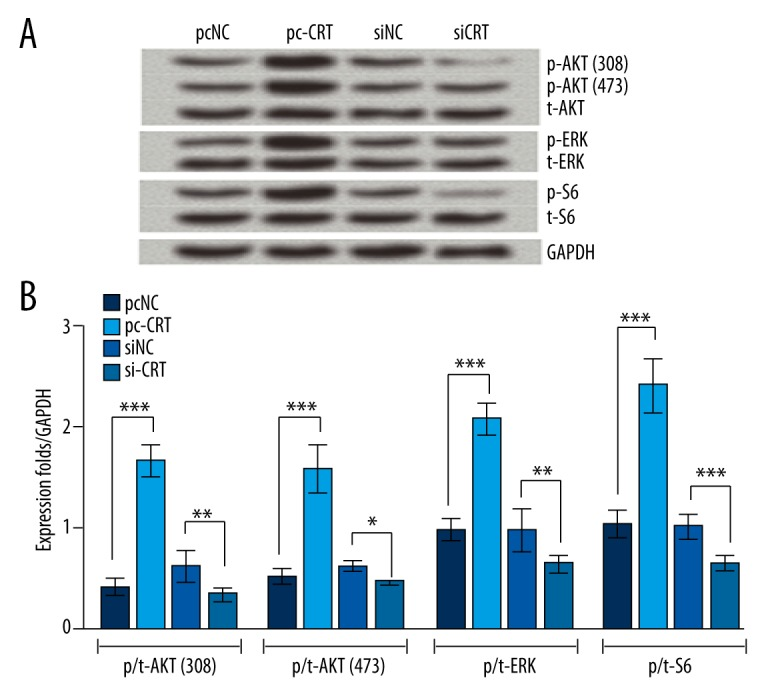 Overexpression of CRT in SCs activated the PI3K/AKT and ERK/S6 signaling pathways. SCs were transfected with pcNC, pc-CRT, siNC, or siCRT. Cells with pcNC and siNC served as negative control for pc-CRT and siCRT transfected cells, respectively. ( A ) expression levels of kinases in transfected cells. After transfection, total proteins extracted from transfected cells underwent Western blot analysis. ( B ) phosphorylation rates of different kinases in transfected cells. The band intensity was estimated by Image Lab™ software. The phosphorylation rate is expressed as the relative intensity of phosphorylated kinases/kinases and the final results were normalized by GAPDH. Data presented are the mean of 3 independent experiments. Error bars indicate SD. *** P