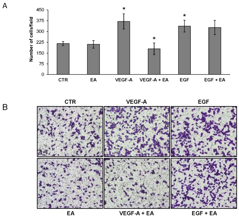 Treatment with EA inhibits migration of UM-UC-3 cells in response to VEGF-A but not to EGF. Migration of UM-UC-3 cells (2 × 10 5 cells/chamber, 18 h incubation), non-stimulated (CTR) or exposed to EA IC 25 (20 µM) in response to VEGF-A or EGF (50 ng/mL) was tested in Boyden chambers containing gelatin coated filters. Migrating cells were counted in six random microscopic fields for each experimental condition. The histogram represents the arithmetic mean values of migrated cells/microscopic field ± SD of three independent determinations. Results of the statistical analysis using one-way ANOVA, followed by Bonferroni's post-test, were as follows: VEGF-A vs. CTR or EA, p
