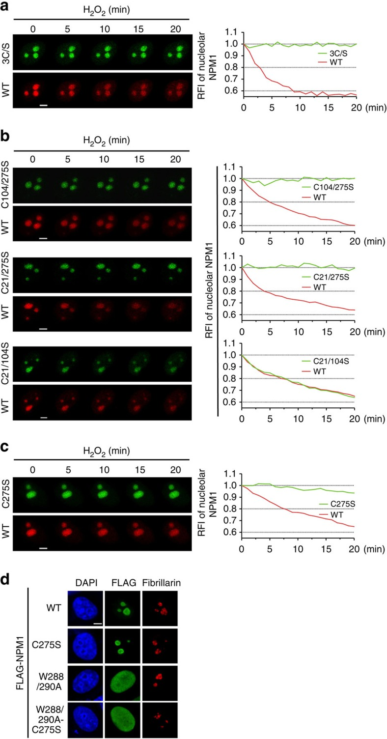 Cys 275 oxidation is responsible for NPM1 translocation. ( a – c ) Translocation of mCherry-NPM1 WT and EGFP-NPM1 mutants in identical cells upon H 2 O 2 (500 μM) exposure, visualized by live-cell imaging for 20 min. ( d ) Localization of various FLAG-NPM1 mutants in unstressed HeLa cells. Scale bars, 5 μm. 3C/S, C21/104/275S.