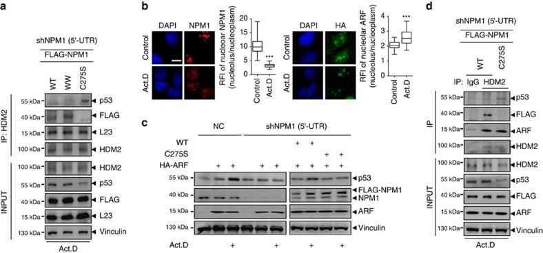 The presence of nucleoplasmic NPM1 is a prerequisite for stress-induced p53 activation. ( a ) FLAG-NPM1 WT and the mutants WW and C275S were added back to NPM1-silenced cells before treatment with Act.D. Co-IP assays were performed using antibody against HDM2 and western blottings were performed using antibodies as indicated. ( b ) Localization of exogenous HA-ARF and endogenous NPM1 after Act.D treatment, from respective cells on same coverslip. Nucleolar/nucleoplasmic RFI ratio of NPM1 ( n =29) and ARF ( n =41) were displayed. Mean±s.e.m. Unpaired t -test. *** P