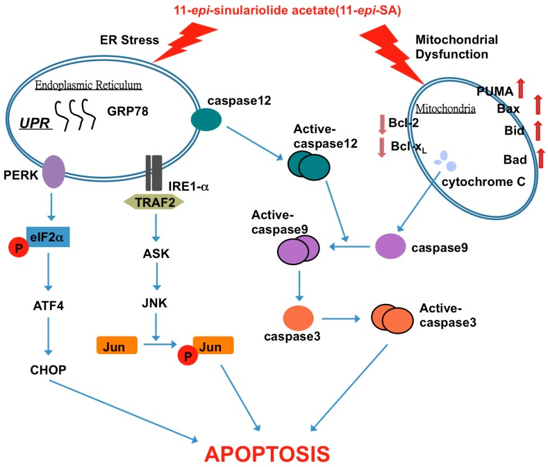 11- epi -SA-induced apoptotic pathway in HA22T cancer cells. The anticancer effect of 11- epi -SA is mediated by the induction of mitochondrial dysfunction and the ER stress signaling pathway. TRAF2, tumor necrosis factor receptor-associated factor 2.