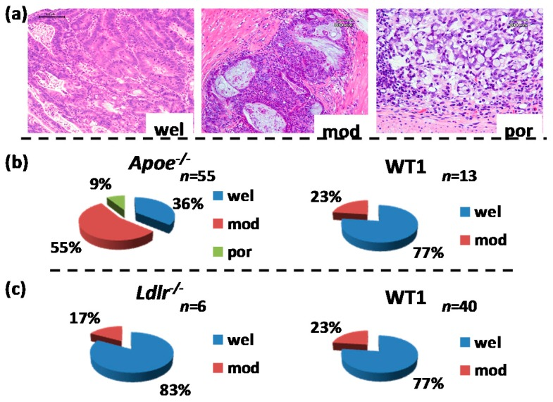 """Histopathological analysis of induced colorectal adenocarcinomas. ( a ) Representative histopathology of colonic adenocarcinomas induced by azoxymethane (AOM) and dextran sodium sulfate (DSS). They were classified into three types of differentiation, well-differentiated (wel), moderately differentiated (mod), and poorly differentiated (por). Hematoxylin and eosin (H E) stain used. Bars are 100 µm in """"wel"""", 60 µm in """"mod"""", and 60 µm in """"por""""; ( b ) percentages of adenocarcinomas developed in the Apoe -deficient and wild (C57BL/6J) mice that received AOM and DSS; ( c ) percentage of adenocarcinomas developed in the Ldlr -deficient and wild (C57BL/6J) mice that received AOM and DSS."""