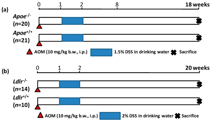 The experimental protocol of ( a ) the Apoe -deficient and WT mice that received AOM and DSS (Experiment 1) and ( b ) the Ldlr -deficient and WT mice that received AOM and DSS (Experiment 2). i.p., intraperitoneal.