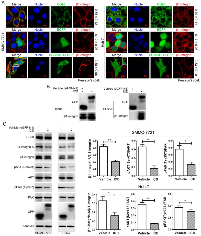CD98-ICD inhibits β1-integrin signaling. ( A ) Co-localization of β1-integrin and CD98-ICD in SMMC-7721 and Huh-7 cells. The co-localization of β1-integrin (red) and CD98 (green) was first analyzed as a positive control ( upper panel). Then, after cells were transfected with eGFP-N1 ( middle panel) or CD98-ICD-EGFP ( lower panel) for 36 h, β1-integrin was visualized to analyze co-localization with CD98-ICD. (Pearson's coefficient is indicated as numerical data on the right of each panel, n > 3). Nuclei: blue. Bar, 10 µm; ( B ) Co-IP analyses of β1-integrin and CD98-ICD interaction in SMMC-7721 cells; ( C ) changes in the molecular expression patterns were detected in SMMC-7721 and Huh-7 cells transfected with EGFP-N1 or CD98-ICD-EGFP. Western blot scanning densitometry for three independent experiments is shown on the right. Blots were probed for β1-integrin, AKT, or FAK independently to ensure equal protein loading. * p