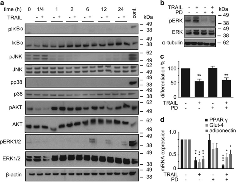 TRAIL induces the activation of ERK1/2, but ERK1/2 is not involved in the effect of TRAIL. ( a ) SGBS cells were treated with TRAIL (30 ng/ml) for different time points (15 min, 1, 2, 6, 12, and 24 h). Protein was isolated and the phosphorylation of I κ B α , JNK, p38, Akt, and ERK1/2 was analyzed by western blot. β -Actin was used as a loading control. The positions of the molecular weight markers (kDa) are indicated. One representative out of three experiments performed is presented. ( b – d ) Human SGBS cells were treated with TRAIL (30 ng/ml) during the first 4 days of adipogenic differentiation in the absence or presence of the MEK1/2 inhibitor PD98059 (100 μ M). ( b ) The inhibition of ERK1/2 phosphorylation by PD98059 was confirmed by western blot. Here, cells were stimulated for 6 h. One representative out of three experiments performed is presented. ( c ) The rate of adipogenic differentiation was determined by cell counting on day 10 of differentiation. Displayed are the means and S.E.M. of three independent experiments. ( d ) RNA was isolated and adipocyte marker gene expression (PPAR γ , Glut-4, adiponectin) was determined by qPCR. The mRNA levels were normalized to the gene HPRT. Displayed are the means and S.E.M. of three independent experiments. One-way ANOVA and Turkey's multiple comparison were used to test for statistical significance in ( c and d ). * P