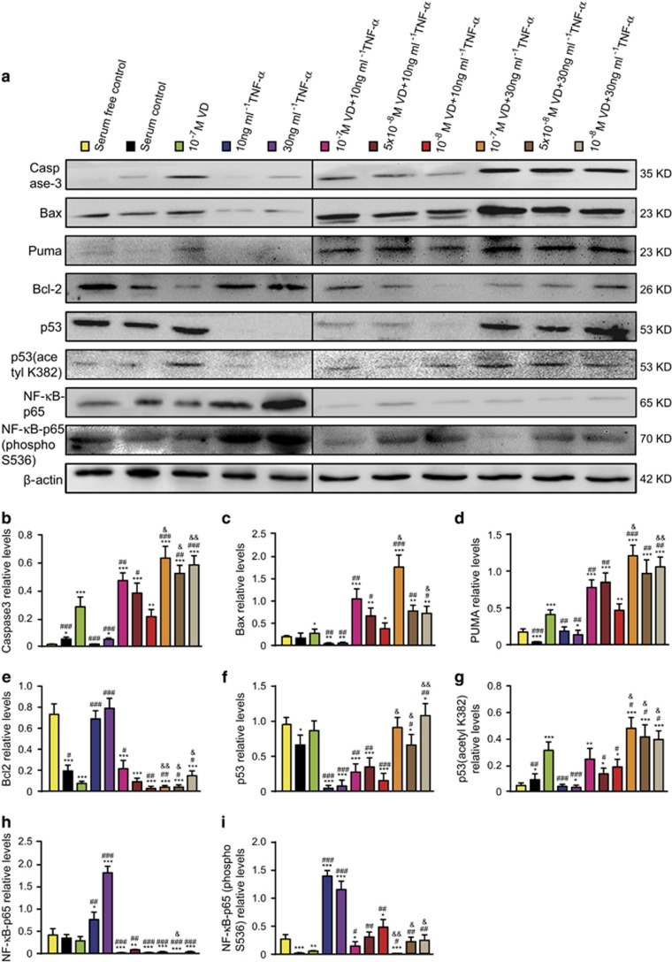 VD with TNF- α promoted p53 acetylation-mediated apoptosis in human rheumatoid FLSs. Human rheumatoid FLS-MH7A cells were treated with DMEM and 10% FBS (serum control), DMEM (serum-free control), DMEM and indicated concentrations of VD with or without TNF- α . ( a ) Western blots of cells by group for Caspase-3, Bax, Puma, Bcl-2, p53, p53 (acetyl K382), NF- κ B-p65 and NF- κ B-p65 (phospho Ser536). β -actin was the loading control. ( b - h ) Protein relative to β -actin was assessed by densitometry. Values are mean±S.E.M. of six determinations per group. * P