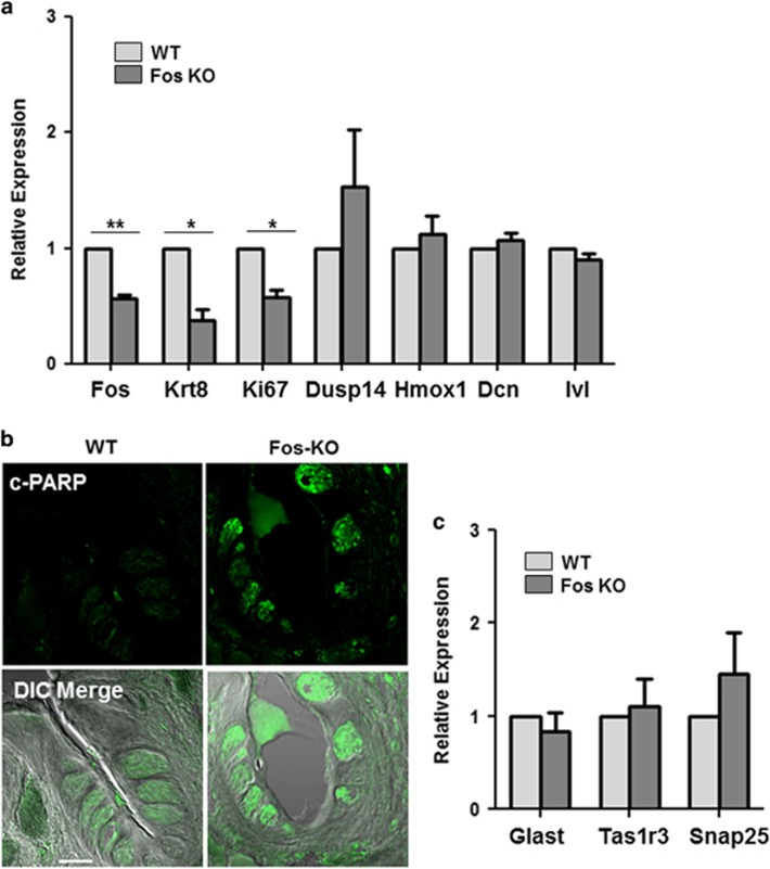 Loss of c-Fos results in reduced taste cell differentiation and increased apoptosis. ( a ) Relative expression of indicated genes: c-Fos ( P =0.0056), Krt8 ( P =0.0252), Ki67 ( P =0.0202), Dusp14, Hmox1, Dcn and Ivl in CV/Fol taste cells from WT and c-Fos-KO mice. Statistical significance was determined using Student's t test. Error bars denote S.D. of three independent experiments. ( b ) <t>Immunohistochemical</t> analysis shows the expression level of <t>cleaved-PARP</t> in the CV taste cells of WT and c-Fos-KO mice, 14 days after tamoxifen treatment. ( c ) qRT-PCR analysis of taste cell type markers Glast (type I), Tas1R3 (type II) and Snap25 (type III). Error bars denote S.D. of three independent experiments. * P