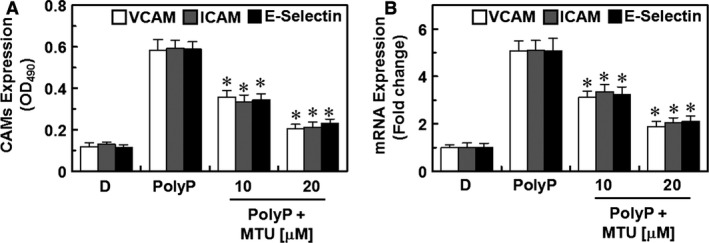 Effects of methylthiouracil ( MTU ) on the PolyP‐induced expression of cellular adhesion molecules ( CAM s) in human umbilical vein endothelial cells ( HUVEC s). ( A ) The PolyP‐mediated (50 μM) levels of expression of vascular cell adhesion molecule‐1 ( VCAM ‐1; white bar), intercellular adhesion molecule‐1 ( ICAM ‐1; grey bar), and E‐selectin (black bar) proteins in  HUVEC s were analysed with whole‐cell  ELISA  after treating the monolayers with  MTU . ( B ) The PolyP‐mediated (50 μM) levels of expression of  VCAM ‐1 (white bar),  ICAM ‐1 (grey bar), and E‐selectin (black bar) transcription (mRNA) in  HUVEC s were analysed with whole‐cell  ELISA  after treating the monolayers with  MTU . The results are expressed as the means ±  SEM  of three independent experiments. * P