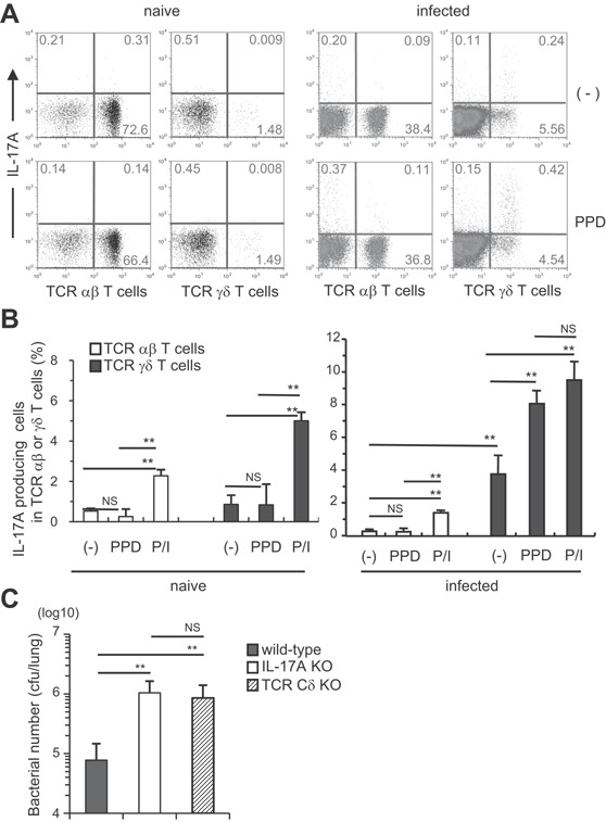 TCR γδ + T cells were the major IL‐17A‐producing cells in the lungs of M. tuberculosis ‐infected mice. Wild‐type C57BL/6 mice were inoculated i.t. with M. tuberculosis H37Rv or left untreated (A and B). The PIF cells (5 × 10 5 cells) were prepared on day 60, and were cultured with PPD (5 μg/ml) in the presence of naive spleen antigen‐presenting cells (1 × 10 5 cells) for 18 h at 37°C, and with GolgiPlug for the last 6 h. The cells were also stimulated with PMA and ionomycin. After the culture, the cells were surface stained with FITC‐CD3e, PerCP‐Cy5.5, or APC‐conjugated anti‐TCR Cβ and APC‐conjugated TCR Cδ mAbs. Surface‐stained cells were subjected to intercellular cytokine staining with a PE‐conjugated anti‐IL‐17A mAb. The samples were analyzed by FCM (A, naïve; B, infected). Wild‐type C57BL/6, IL‐17A KO, and TCR Cδ KO mice were inoculated i.t. with 1 × 10 3 CFU of M. tuberculosis H37Rv (C), and the CFU in the lungs was determined on day 60 after the infection. The statistical analysis was performed with ANOVA. Asterisks (*) indicate significant difference between two groups.