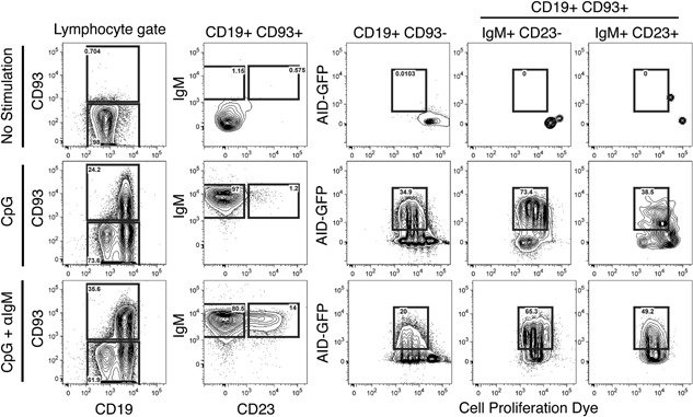 CpG stimulation leads to AID expression in mature, and T1 B cells and CpG+anti‐IgM resulted in the expression of AID in T2 B cells. B cells enriched by negative selection from AID‐GFP mice were cultured in the presence of media alone, CpG, or CpG+anti‐IgM for 3 days. Populations of mature, T1 and T2 B cell subsets were analyzed for their expression of GFP. Representative flow cytometry showing the mature (CD19+CD93−) and immature (CD19+CD93+) B cells on the left panel. Transitional types 1 and 2 B cells were differentiated in the second column by IgM and CD23 expression (T1 = IgM+, CD23− and T2 = IgM+, CD23 +). The right three columns show AID‐GFP expression for the mature B cells (CD19+ CD93−), T1 cells, and T2 cells compared to a cell proliferation dye ( n = 3 in two independent experiments).