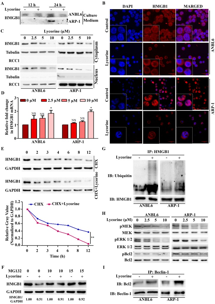 Lycorine mediated proteasomal degradation of HMGB1 inhibits the dissociation of Bcl-2 from Beclin-1. (A) Release of HMGB1 upon lycorine treatment was analyzed. The amount of HMGB1 was checked in the culture medium of ANBL6 and ARP-1 cells after incubation with or without lycorine for 12 and 24 h by Western blotting. ( B ) Subcellular localization of HMGB1 was observed under confocal microscope. ANBL6 and ARP-1 cells were treated with or without lycorine for 24 h and then immunostained with HMGB1-specific antibody/Cy3 secondary antibody (shown in red). Nuclei were stained with DAPI (blue). Images were acquired digitally by FV1000-X81 confocal microscope (Olympus, Japan) with 60× magnification. (C) Subcellular localization of HMGB1 was checked by Western blotting. Cytoplasmic and nuclear extracts of the harvested ANBL6 and ARP-1 cells after 24 h treatment with increasing doses of lycorine were prepared and subjected to Western blotting for the detection of HMGB1. Antibodies against α-tubulin and RCC1 were used to determine the purity of the cytoplasmic and nuclear fractions, respectively. (D) Total RNA was prepared from ANBL6 and ARP-1 cells 24 h after lycorine treatment and the level of HMGB1 mRNA was measured by quantitative RT-PCR. (E) Western blotting analysis of total cell lysate prepared from cells treated with 200 μg/ml CHX in the presence or absence of lycorine for the indicated time. The signal intensity from HMGB1 blot was normalized to GAPDH and plotted against the CHX incubation time. (F) Cells were incubated for 18 h with or without lycorine, followed by 6 h with 10 or 15 µM MG-132, and the lysate was used to detect HMGB1. GAPDH was used as a loading control. Densitometry analysis of HMGB1 intensity was performed using ImageJ software and normalized with loading control (HMGB1/GAPDH). (G) Quantitative Co-IP was adopted to investigate the interaction of HMGB1 with ubiquitin. Co-IP was performed using an anti-HMGB1 antibody in lysate from cells treated with