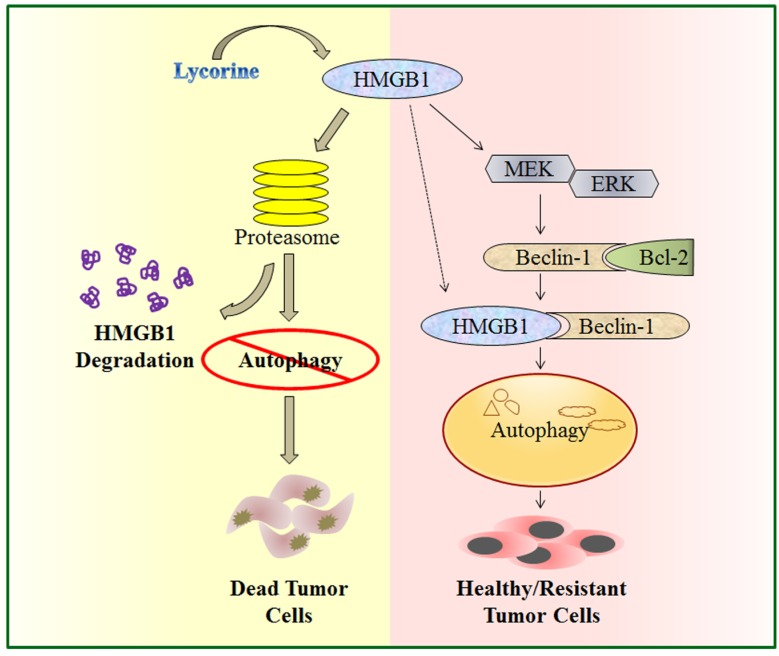 A schematic illustration of proposed mechanism for anti-myeloma activity of lycorine. HMGB1 acts as an important mediator of autophagy. It can directly bind with Beclin-1 or activate MEK-ERK to free Beclin-1 from Bcl-2 and initiate autophagy which facilitates cell survival and confers resistance. Lycorine is suggested to mediate HMGB1 degradation through proteasome pathway, inhibits MEK-ERK activation and thereby increase Bcl-2-Beclin-1 interaction. As a result causes inhibition of pro-survival autophagy and leads to cell death.