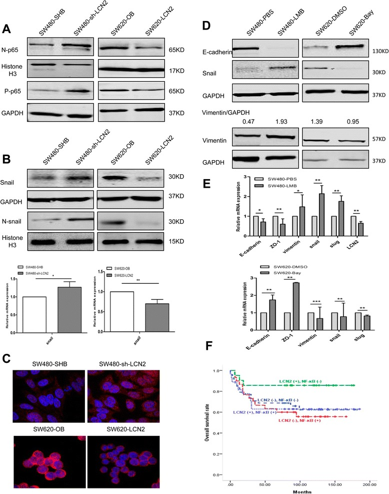 LCN2 suppresses the NF-κB/snail signaling pathway and attenuates NF-κB promoter activity. a Western blots detection of p65 expression in LCN2-overexpressing and LCN2-knockdown cells. b Western blots detection, quantification of relative mRNA expression of snail expression in corresponding cells. c Immunofluorescence of snail expression and location in the indicated cells. d , e Western blots detection of EMT markers and snail changes ( d ) and quantification of relative mRNA expression of EMT markers ( e ) after treatment with LMB (20nM for 10 h) and Bay11-7082 (50 μM for 3 h) in corresponding cells. The grey value ratio of Vimentin/GAPDH was shown. f Survival analysis (Kaplan-Meier method, log-rank test) of combined LCN2 and NF-κB expression in CRC patients ( n = 126; group 1 ( n = 21, 3 died) vs group 2 ( n = 48, 17 died), P = .083; group 1 vs group 3 ( n = 27, 10 died), P = .088; group 1 vs group 4 ( n = 30, 13 died), P = .042). Values shown in real-time PCR assay are the mean ± SD from at least three independent experiments. (N, nuclear; P-phosphorylated). * P