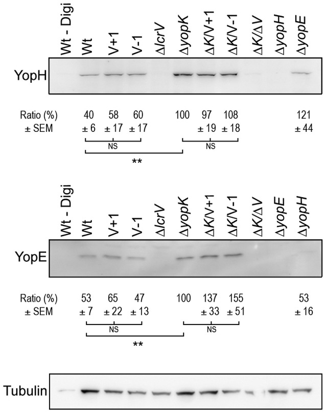 Translocation levels are up-regulated even in the absence of pore formation . Translocated YopH and YopE detected within HeLa cells after 1 h of infection (Δ yopK , Δ K/V + 1 , Δ K/V–1  and Δ K/ Δ V , Δ yopE  and Δ yopH ) or after 2 h (Wt, V+1, V−1, Δ lcrV ). Extracellular proteins were removed by Proteinase K treatment after which the cells were lysed with 1% Digitonin. One sample (Wt–Digi) was left unlysed as a negative control. Detection of tubulin served as a loading control. The experiment was repeated at least three times and a representative experiment is shown. The signal intensity of the bands was quantified using the Multi Gauge-Image software (Fujifilm). The values for YopE and YopH were normalized to the loading control and the ratio ± SEM of translocated Yops relative to the Δ yopK  mutant, is shown below each Western blot. The results were analyzed using the paired Student's  t -test with the significance set at  p  ≤ 0.01 ** . NS, No significant difference.