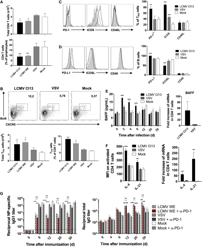 LCMV infection triggers the expansion of T FH cells and induces their expression of B cell-activating cytokines . B6 mice (four per group) were infected with LCMV Cl13 (black bars or lines), LCMV WE (hatched), VSV (gray bars or dotted lines), or mock infected (white bars or shaded area). Mice were immunized the same day with an i.p. injection of NP 53 -CGG in alum and CD4 + T cells were analyzed on d8 after infection. (A) Total CD4 + T cell numbers (top panel) and proportions (bottom panel) determined by flow cytometry. (B) T FH cell numbers and proportions determined by flow cytometry. (C) Proportion of T FH cells expressing PD-1, ICOS, and CD40L and (D) B cells expressing PD-L1, ICOSL, and CD40 determined by flow cytometry. (E) Serum BAFF concentration (left panel) and BAFF mRNA expression in total splenic CD4 T cells (right panel) measured using ELISA and qRT-PCR, respectively. (F) Intracellular cytokine levels (left panel) and mRNA expression (right panel) of IL-4 and IL-21 in CD4 T cells measured using flow cytometry and qRT-PCR, respectively. (G) NP-specific IgG1 response (left panel) and total IgG response (right panel) monitored upon infection with LCMV WE (hatched bars), VSV (gray), or mock-infected (white) infection along with injection of PD1-blocking Ab (red hatched or checkered bars). Statistical analysis was performed by individual T -tests between experimental groups and the mock-infected group and between non-treated and anti-PD1 Ab-treated LCMV-infected groups when indicated with brackets. * p