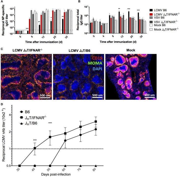 B cell-specific disruption of IFNAR restores NP-specific Ab responses and accelerates the development of LCMV nAbs . (A–C) B6, J H T/IFNAR −/− , or J H T/B6 mice (four per group) were infected with LCMV Cl13 (black for B6; red for J H T/IFNAR −/− ), VSV (gray), or were mock infected (white). Plain bars represent B6 mice and checkered bars J H T/IFNAR −/− B cell bone marrow chimeric mice. (A) NP-specific IgG1 and (B) total IgG responses monitored using ELISA on d8 following infection/NP 53 -CGG immunization. (C) Splenic follicular structures visualized using immunofluorescent staining of CD19 (red), MOMA-1 (green), and DAPI (blue) on spleen sections obtained on d8 postinfection. (D) Neutralization assay showing accelerated nAb responses in J H T/IFNAR −/− chimeric mice upon infection with LCMV Cl13. (A–C) Representative of two independent experiments. (D) Compilation of three independent experiments (B6 mice, n = 21; J H T/IFNAR −/− mice, n = 25; J H T/B6 mice, n = 8). Statistical analysis was performed by individual T -tests between experimental groups and the mock-infected group for (A–C) and one-way ANOVA for (D) . * p