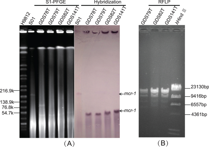 ( A ) Pulsed field gels of S1 digested genomic DNA and Southern blot in gel hybridization with probe mcr-1 . ( B ) <t>ApaLI</t> restriction digestion profiles of mcr-1 -carrying plasmids of the three <t>transconjugants.</t>