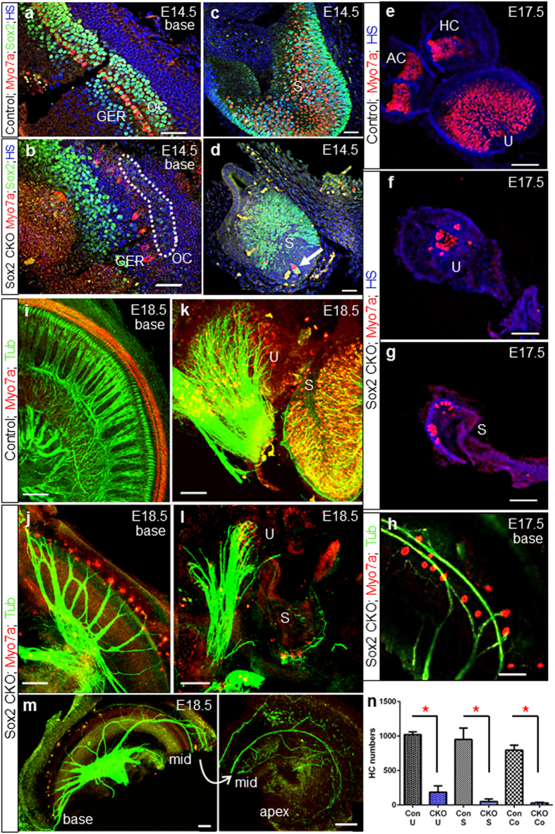 Delayed deletion of Sox2 results in the differentiation of some neurosensory cells in the basal cochlear turn and in the vestibular organs. ( a,b ) Sox2 + cells in the Sox2 CKO cochlea are detected only in the base at the age of E14.5 and disappear later in development. ( b ) The strong Sox2 expression domain is shifted toward the GER. Similarly, Myo7a + cells do not differentiate in the proper area of OC. Some weak Sox2 expression remains in the OC area of Sox2 CKO (dotted area). ( c,d ) Variable numbers of HCs (Myo7a + ) and supporting cells (Sox2 + ) develop in the Sox2 CKO vestibular system. ( d ) HCs in the saccule also develop in the area that lacks supporting cells (arrow). ( e–h ) Some poorly differentiated Myo7a + HCs are present in the utricle, saccule and basal turn of the cochlea of the Sox2 CKO at E17.5. ( i–m ) At E18.5, the innervation of mutant cochlea, saccule and utricle is severely reduced and shows an unusual pattern compared to controls. Fibers show mostly directional growth toward remaining HCs but also transient expansion into HC-free regions. ( n ) The quantification of Myo7a positive HCs after whole mount immunostaining shows a striking reduction of HCs in the Sox2 CKO inner ear compared to littermate controls for the utricle (U), saccule (S) and cochlea (Co). Myo7a + HCs were counted after whole mount immunostaining using LAS AF Lite draw counter to avoid counting error. The total number of HCs was determined in the entire utricle and saccule, and in the entire Sox2 CKO cochlea. The number of HCs in the control cochlea represents the total number of HCs in 1.5 mm of the base. The values represent means ± SD (N = 4–7 individuals/group). *P