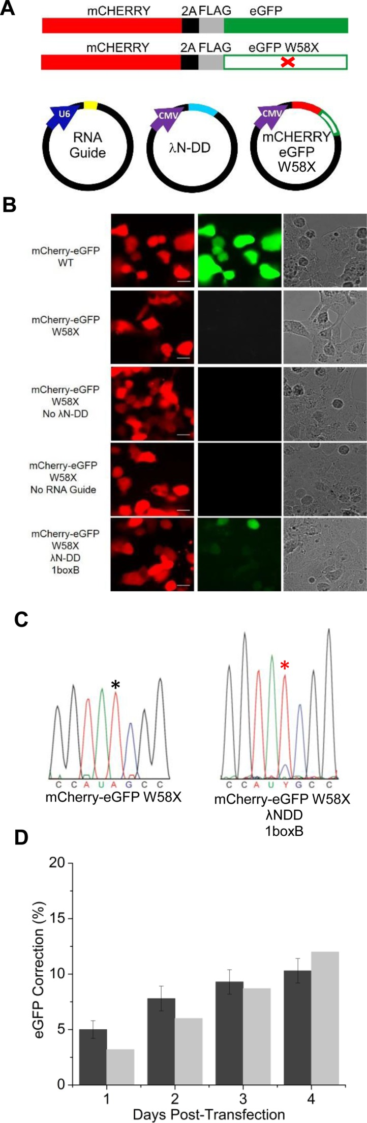 Fluorescent reporter system for quantifying editing. ( A ) Cartoons of fluorescent protein constructs and plasmids used in this study. Full-length mCherry and eGFP were fused together and separated by a 2A peptide (black) followed by a FLAG epitope tag (grey). In addition, a version with a stop codon (U A G) inserted at position 58 of eGFP was made (W58X). These constructs were cloned into a vector driven by the CMV promoter, as was λN-DD. RNA guides were driven by a U6 promoter. ( B ) Confocal images of HEK293T cells transfected with different combinations of components are shown. Red, green, and DIC images are shown for the same field of cells. Pictures are taken 96 h post-transfection. Scale bars = 12 μm. Fluorescence correction was estimated to be 11 ± 0.05 %. ( C ) Sequences from RT-PCR products of corrected cells and cells transfected with mCherry-eGFP W58X alone. Asterisks indicate the target A. Editing percentage for experimental samples was estimated to be 11 %. ( D ) Estimates of editing efficiencies from fluorescence (dark gray) and direct sequencing (light grey) were compared at various days post-transfection. Fluorescence estimates were based on 200–800 cells per sample (mean ± SEM) and RT-PCR products came from the same samples. Technical duplicates for all fluorescence measurements yielded similar results (2.3 ± 0.3, 8.7 ± 1.5, 8.9 ± 1.5, and 12.9 ± 1.4 % for days 1, 2, 3, and 4, respectively). Technical duplicates for RNA correction based on direct sequencing of were as follows: 4, 6, 9 and 14 %, for days 1, 2, 3 and 4, respectively.