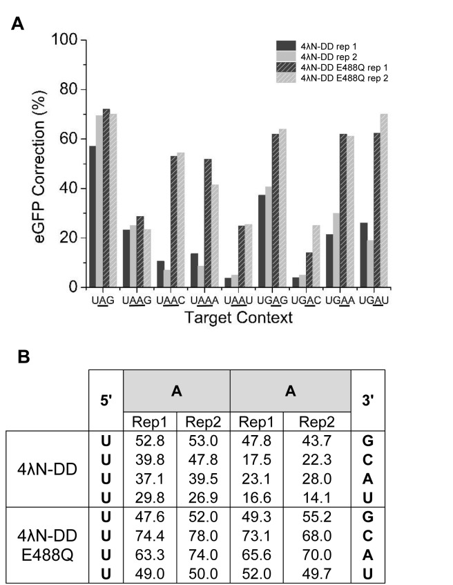 Editing efficiencies of optimized SDRE system on A's in different neighboring contexts. ( A ) A's in different neighboring contexts were introduced into mCherry-eGFP and different 2boxB guide RNAs were designed to target them. These RNA guides were tested in HEK293T cells with either 4λN -DD or 4λN-DD E488Q. Results were tested only by direct sequencing of RT-PCR products. Experiments were done in duplicate. ( B ) Editing percentages of individual A's for the UAA N context with 4λN -DD and 4λN-DD E488Q. Rep 1 = repetition 1 and rep2 = repetition 2.