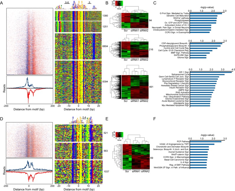From the input treated CTCF ChIP-exo data set, ( A ) read tag distributions around all genomic CTCF-bound sites shown in the four binned motif combinations (right panel) were centered on the midpoint of the CTCF consensus to generate a heat map (top left) which is summed below as an aggregate plot. Denoted in blue and red are the sense and antisense strand read enrichments around the core CTCF motif, respectively. The centralized CTCF core sequence and adjacent motifs are depicted above a color map representation of 50 bp DNA stretches containing the various motif combinations (right panel). ( B ) Heat maps from RNA-seq data depicting gene transcripts exhibiting a two-fold up- (green) or down-regulation (red) after CTCF depletion relative to the scrambled siRNA control (Scr). For each motif group, CTCF promoter occupation sites (defined as ±1000 bps around the transcription start site (TSS)) were intersected with the RNA-seq data and resulting altered gene sets were binned as individual heat maps. ( C ) Each gene set from ( B ) was subjected to Ingenuity Pathway Analysis (IPA, www.ingenuity.com ) to identify biological pathways uniquely modulated by each of the CTCF motif combinations. ( D–F ) The same analyses in ( A–C ) were performed separately on the core CTCF consensus with the newly identified 3′-CTCF motif.