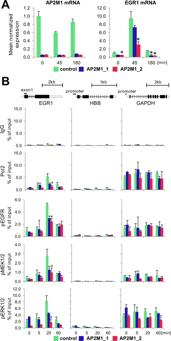 AP2M1 depletion reduces EGF-inducible Pol2, EGFR, MEK1/2 and ERK1/2 binding to EGR1 locus. ( A ) HeLa-S3 cells line were transfected with either one of two AP2M1 siRNAs or non-specific siRNA in a presence of Lipofectamine 3000. Twenty-four hours after transfection, cells were switched to serum free medium, and 48 h after quiescence, cells were treated with EGF (100 ng/ml) for 0, 45 and 180 min. Cells were harvested at indicated time point then RNA extracted with Trizol followed by RT-qPCR measurements. EGR1 and AP2M1 expression was normalized to RPLP0 mRNA ( n = 3; ±SD). (B ) Cells were prepared as in A and challenged with EGF (100 ng/ml) for 0, 5, 20 and 60 min then fixed, chromatin isolated and sheared. Matrix ChIP assay was done using antibodies to Pol2, pEGFR, pMEK1/2 and pERK1/2. ChIP data are expressed as DNA recovery in percentage (%) of input (means ± S.D., n = 3). Statistical analysis of differences between mean DNA recovery for control and AP2M1-depleted chromatin at given time point was performed using t -tests. ChIP results are shown for PCR product depicted on gene cartoon. A P -value of