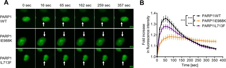 Recruitment and dissociation kinetics of PARP1-eGFP at sites of laser-induced DNA damage. ( A ) Representative imaging data. Scale bars indicate 10 μm. ( B ) Densitometric quantitation of signal intensities from imaging data as shown in (A). Means ± SEM of n = 3 independent experiments, > 29 cells were analyzed per experiment and condition. Statistical analysis was performed using two-way ANOVA testing and Sidak's post-test.