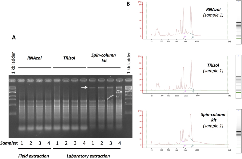Comparison of the effectiveness of RNAzol RT (RNA extraction in field) and TRIzol Reagent or spin-columns kit (RNA extraction in laboratory with recommended cold conditions) to isolate total RNA. ( A ) Electrophoretic separation using 2% agarose gel of RNA extracted from the same four samples using the three methods. ( B ) Electropherogram and Electrophoresis of representative sample of RNA analysed with the Agilent 2100 bioanalyser system with the RNA 6000 Nano ™ kits. The white arrow shows genomic DNA contaminants.