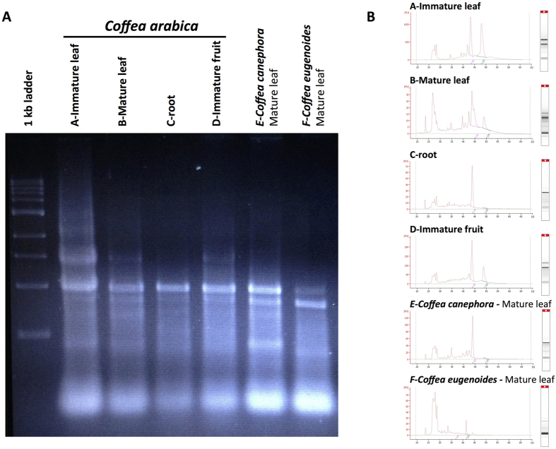 Depicts the integrity of RNA isolated at 30 °C from different Coffea arabica tissues (mature and immature leaf, fruit, root) and from leaves belonging to 3 different coffee species, Coffea arabica, C. canephora and C. eugenoides . The isolated RNA were analysed by electrophoretic separation using 2% agarose gel ( A ) and the Agilent <t>2100</t> <t>bioanalyser</t> system with the RNA 6000 Nano ™ kits ( B ). The total RNA fraction contained ribosomal RNA, mRNA and small RNA had a RIN value ranging between 7.5 and 8.5.