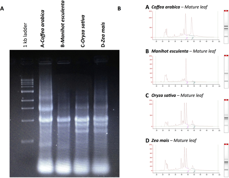 Depicts the integrity of RNA isolated at 30 °C from leaf tissue samples from Coffea arabica, Manihot esculenta, Oryza sativa and Zea mais . ( A ) The left-hand side of the figure shows the electrophoresis analysis by agarose gel. ( B ) The right-hand side of the figure shows the Agilent 2100 bioanalyser electrophoresis for each sample. The total RNA fraction had a RIN value ranging between 8 and 9.
