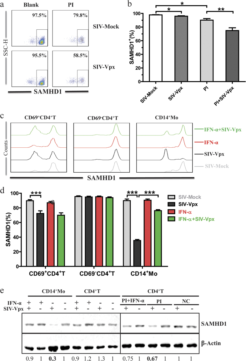 The effects of immune activation on SAMHD1 expression and SIV-Vpx mediated SAMHD1 degradation. ( a ) PBMC cells were stimulated with PI (1 μM PMA plus 1 μg/mL Ionomycin) for 24 h. Then, SAMHD1 expression in CD4 + T cells was assessed. Representative dot-plot results for SAMHD1 expression are presented. Percentages indicate absolute SAMHD1 + cell numbers. (b ) Statistical analysis of data obtained as described in a was performed using the Mann-Whitney test. (c) PBMCs were pre-stimulated with IFN-α, or were not stimulated, for 24 h. Cells were then treated for another 48 h with SIV-Vpx or SIV-Mock. Histograms of SAMHD1 expression in activated CD4 + T cells, resting CD4 + T cells, and monocytes are presented. (d ) Statistical analysis of data was performed using the Wilcoxon matched pairs test, data from HIV-1 infected individuals (n = 15). ( e ) Purified CD4 + T cells and monocytes were separated from PBMCs, pre-stimulated with PI or IFN-α, then treated with SIV-Vpx or SIV-Mock; whole cell lysates were examined by western blot analysis. Relative protein blot signal intensity analysis was performed using Li-Cor Image Studio software, numbers represent relative value normalized to β-Actin.