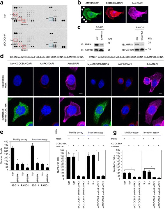 Association of CCDC88A and AMPK1 with cell migration and invasion. a. Effects of suppression of CCDC88A on the expression of selected phosphoproteins in S2-013 cells. Cell extracts obtained from fibronectin-stimulated scrambled control-siRNA transfected S2-013 cells or CCDC88A -siRNA transfected S2-013 cells were probed on human phosphoprotein arrays. b . Confocal immunofluorescence microscopic images of S2-013 cells that were cultured on fibronectin and were then labeled with anti-AMPK1 antibody ( green ), anti-CCDC88A antibody ( red ) and phalloidin (violet; actin filaments). Arrows, AMPK1 localized in cell protrusions. Blue, nuclear DAPI staining. Bar, 10 μm. c . Western blot analysis of AMPK1 following transient transfection of S2-013 and PANC-1 cells with a single mixture containing four different siRNA oligonucleotides targeting AMPK1 (siAMPK1) or negative scrambled control (Scr). Western blotting was performed using an anti-AMPK1 antibody. d . Confocal immunofluorescence microscopic images. A myc-tagged CCDC88A-rescue construct was transfected into S2-013 and PANC-1 cells that had been transfected with both CCDC88A -siRNA and AMPK1 -siRNA. 48 h later, the cells were incubated on fibronectin. Cells were stained with anti-myc antibody ( violet ), anti-AMPK1 antibody ( green ), and phalloidin ( red ). Blue, DAPI staining. Bars, 10 μm. e . siRNA oligonucleotides targeting AMPK1 or Scr were transiently transfected into S2-013 and PANC-1 cells. After 48 h, migration and two-chamber invasion assays were performed. Migrating cells in four fields per group were scored ( lower panel ). Data are representative of three independent experiments. Columns , mean; bars , SD. * p