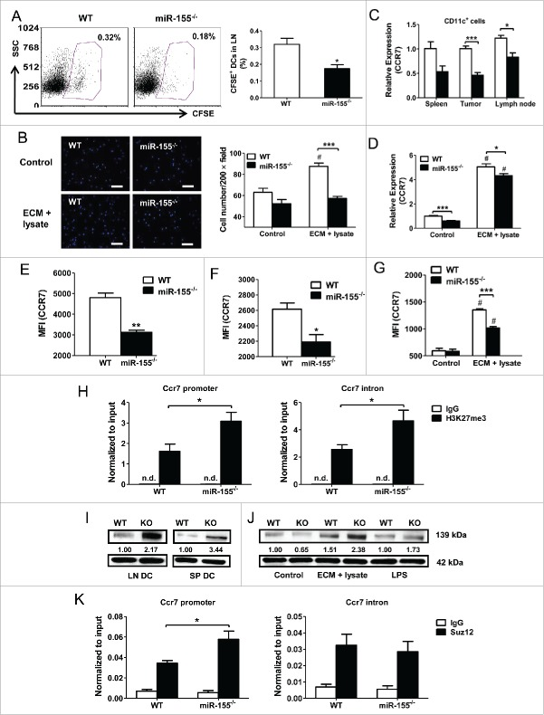 miR-155 affects DC migration by epigenetically regulating CCR7 expression. (A) In vivo migration of CFSE-labeled DCs toward draining lymph nodes was measured by flow cytometry. WT or miR-155 −/− BMDCs were pulsed with tumor cell lysate and ECM, labeled with CFSE, and implanted into the groins of tumor-bearing WT mice. Typical scatter plots (left) and percentages (right) of CFSE + population are shown (n = 4). (B) In vitro migration of WT or miR-155 −/− BMDCs pulsed with tumor cell lysate and ECM was determined by trans-well migration assay. Immature BMDCs maintained in DC medium were used as controls. Representative fluorescence images are shown (left). Cells were counted in 10 random fields per sample at 200 × magnification and quantified (right) (n = 3). (C) CCR7 mRNA level in DCs isolated from spleen, tumor, and lymph node of WT or miR-155 −/− mice carrying EO771 tumors was determined by RT-PCR (n = 3). (D) CCR7 mRNA level in BMDCs treated with tumor lysate and ECM in vitro was determined by RT-PCR; immature BMDCs served as controls (n = 3). (E) and (F) Cell surface CCR7 expression on DCs isolated from spleen (E) or lymph node (F) of tumor-bearing WT or miR-155 −/− mice was determined by flow cytometry. MFIs of CCR7 from three independent experiments are shown. (G) Quantified MFI of CCR7 on BMDCs matured by tumor cell lysate and ECM in vitro was shown. (H) Enrichment of H3K27me3 at Ccr7 promoter (left) and first intron (right) in WT and miR-155 −/− BMDCs treated with tumor lysate and ECM was determined by qPCR. (I and J) Jarid2 protein levels in DCs isolated from lymph nodes and spleens of WT and miR-155 −/− tumor-bearing mice (I), and in tumor-associated antigen-treated BMDCs (J) were detected by western blot; relative intensities of Jarid2 were labeled under the bands. (K) ChIP-qPCR was performed to detect the recruitment of Suz12 at the Ccr7 promoter (left) and first intron (right) in WT and miR-155 −/− BMDCs. (A), (C), (E) and (F), (H), and (K) Student's t te