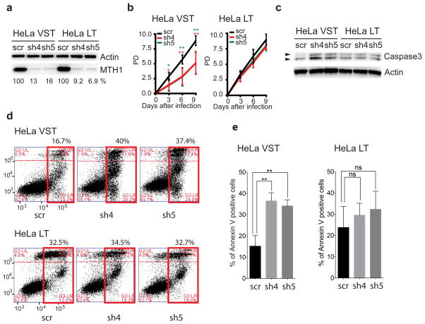 Cells with shortened telomeres are hypersensitive to oxidized nucleotides HeLa cell lines with very short telomeres (VST) or long telomeres (LT) were analyzed 3 days after transduction with lentivirus expressing a non-targeting shRNA (scr) or different shRNAs against MTH1 (sh4 and sh5). ( a ) Immunoblot with antibodies against MTH1 or actin. The percent MTH1 expression relative to the control was calculated. ( b ) Population doubling values are the mean ± s.d. from four independent experiments. * p