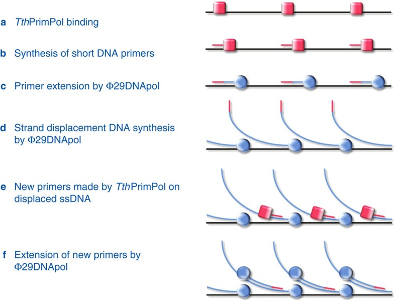 Scheme of the TruePrime reaction. TruePrime reaction steps leading to amplification of (genomic) DNA. ( a ) Tth PrimPol binds to denatured DNA at different sites. ( b ) Tth PrimPol synthesizes short DNA primers. ( c ) DNA primers are recognized by Φ29DNApol, which replaces Tth PrimPol extending the primers. ( d ) DNA primer elongation coupled to strand displacement by Φ29DNApol leads to the exposure of new single-stranded template regions. ( e ) Tth PrimPol catalyses new rounds of priming on the displaced ssDNA. ( f ) New DNA primers trigger further rounds of strand-displacement synthesis, leading to exponential amplification of the target DNA.