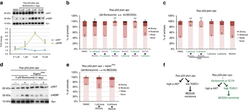 Bortezomib promotes sensitivity to PI3K pathway inhibition. ( a ) Western blot analysis of PI3K pathway activity in ras G12V p53 Ri pten Ri apc Ri hindguts after 1 day feeding of bortezomib at indicated doses. Each data point represents the average response of two to five biological replicates with ten hindguts per replicate. Error bars: s.e.m. ( b ) Quantification of dissemination in ras G12V p53 Ri pten Ri apc Ri animals after sequential treatment with BEZ235 and indicated doses of bortezomib. ( c ) Quantification of dissemination in ras G12V p53 Ri pten Ri apc Ri animals after a 1-day/2-day alternating treatment schedule of bortezomib/BEZ235 and each drug alone. ( d ) Western blot analysis of PI3K pathway activity in ras G12V p53 Ri pten Ri apc Ri hindguts with and without raptor knockdown treated with 5 μm bortezomib for 1 day. ( e ) Quantification of dissemination in ras G12V p53 Ri pten Ri apc Ri raptor Ri animals after sequential treatment with indicated doses of bortezomib followed by BEZ235. ( f ) Schematic illustration of the mechanism by which the two-step therapy overcomes resistance to BEZ235: elevating mTORC1 activity increases subsequent sensitivity to BEZ235. ( b , c , e ) n =2 replicates, 30 flies per replicate; error bars: s.e.m. * P