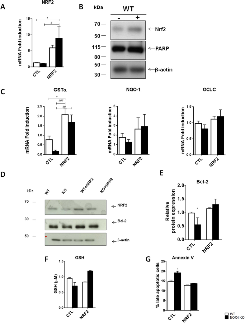 Overexpression of active NRF2 partially prevents NOX4 deletion-associated pro-apoptotic phenotype. ( A ) Real time PCR analysis of NRF2 mRNA and ( B ) Western blot analysis of NRF2 protein and β-actin performed on WT MEF cells transfected or not with active NRF2. Representative images are shown. Results are expressed as ratio of relative quantity over the mean value obtained in WT control cells ± SEM, (n = 6), ns p > 0.05, * or # p