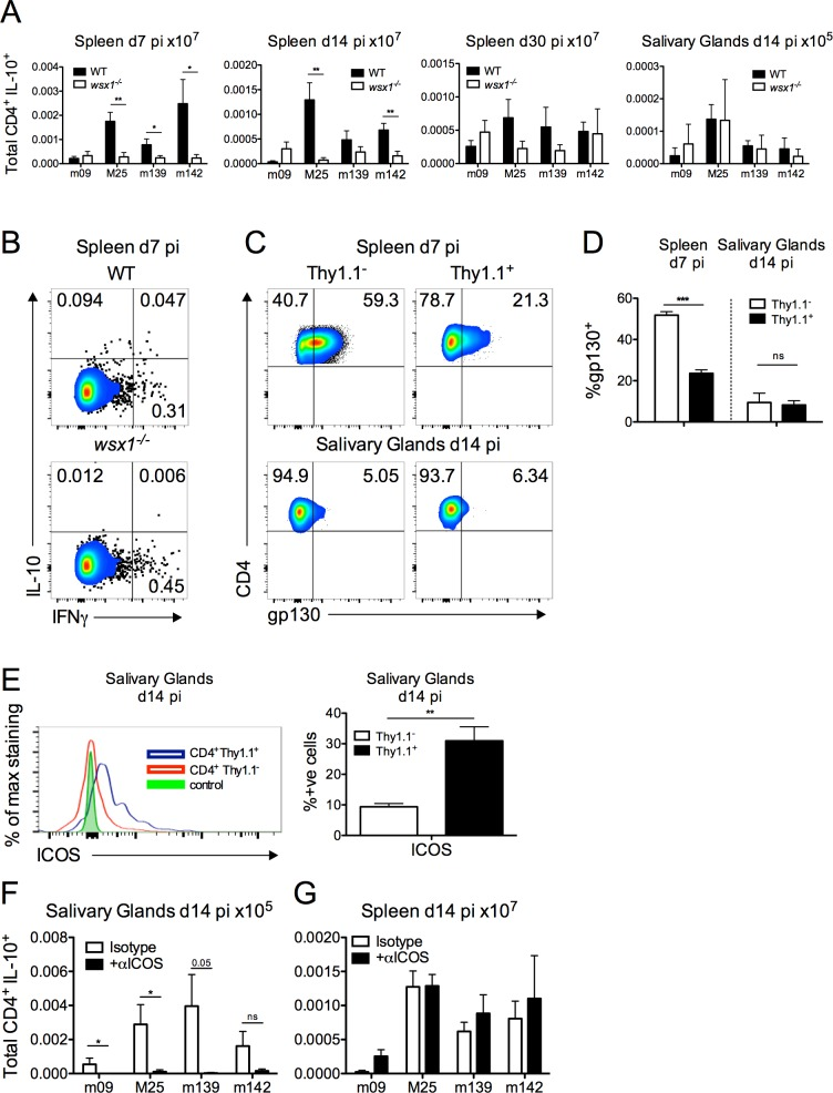 IL-27 promotes splenic CD4 + IL-10 + T cell development whereas ICOS is required for salivary gland CD4 + IL-10 + T cell accumulation. Il-27r α -/- or WT (C57BL/6) mice were infected with MCMV and spleen and salivary gland CD4 + /IL-10 + (A) responses were quantified and expressed at mean + SEM of 11 mice/group. (B) Representative bivariant FACS plots of IFNγ versus IL-10 expression by splenic CD4 + CD3 + T cells. (C D) gp130 and (E) ICOS expression by IL-10 + (Thy1.1 + ) and IL-10 - (Thy1.1 - ) CD4 + CD3 + T cells was assessed in 10-Bit mice and shown as representative FACS plots (C) and histogram overlays (E) with mean + SEM of 5–6 mice/group (D). Gating was determined using Thy1.1 + CD4 + CD3 + cells derived from fluorescent minus one-stained samples from mice infected for 14 days. (F G) WT (C57BL/6) mice were infected with MCMV and at d6 and d10 pi αICOS or Isotype antibody was added. At d14 pi (F) salivary glands and (G) spleen CD4 + /IL-10 + responses were quantified and expressed as mean + SEM of 6 mice/group.
