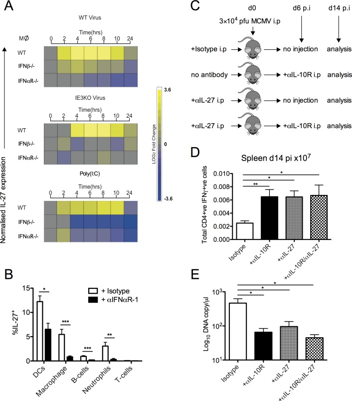 Type-I IFN induces IL-27 expression during MCMV infection. (A) Heat map of IL-27 p28 mRNA expression by WT, IFNβ -/- and IFNαR -/- macrophages following stimulation with WT MCMV (C3X), replication-deficient (ΔIE3) MCMV or poly(I:C). (B) Expression of IL-27 p28 by splenic leukocytes was assessed d2 pi in Cre - mice treated/not with 2 mg anti-IFNαR-1. Mean + SEM of 8 mice/group is shown and data is representative of 2 separate experiments. (C) WT (C57BL/6) mice were infected with MCMV treated with anti-IL-27, Isotype or virus alone. At d6 pi mice were treated /not with anti-IL-10R and at d14 pi spleen CD4 + /IFNγ + (D) responses were quantified and expressed as mean ± SEM of 4–15 mice/group. (E) MCMV genomes in saliva were quantified by qPCR. Data shown as mean ± SEM from 4–15 mice/ group.