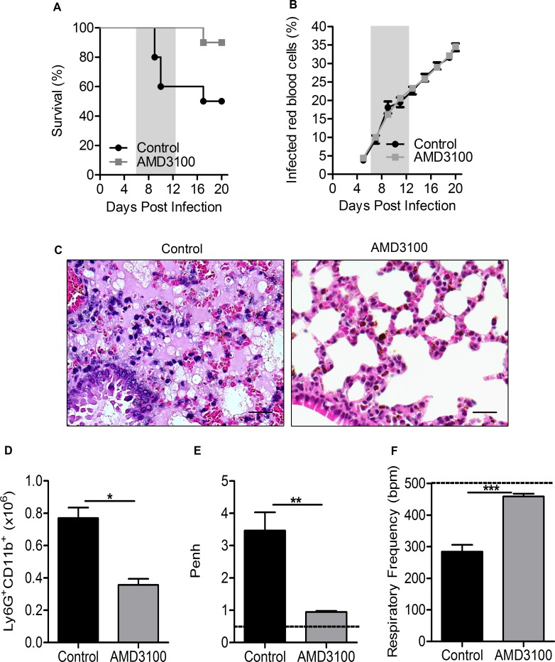 CXCR4 antagonist treatment protects DBA/2 mice from ALI/ARDS. (A) Survival and (B) parasitemia curves in P . berghei ANKA-infected mice treated with 5 mg/kg of AMD3100 or DMSO + saline solution (control group) on the 1 st , 3 rd , 5 th and 7 th days post-infection (dpi). (C) Lung tissues from untreated mice (CTR) (died on the 9 th dpi with ALI/ARDS) and AMD3100-treated mice (died on the 21 st dpi due to hyperparasitemia) (400x, scale bar 25 μm). (D) Number of neutrophils in the lungs, measured via flow cytometry, from infected AMD3100-treated mice and control mice (CTR). (E) Enhanced respiratory pause (Penh) and (F) respiratory frequency (RF) data for these mice. Data are representative of three independent experiments and are expressed as the mean ± SEM. The data from (D) to (F) were collected on the 7 th dpi. (A, log-rank test and Wilcoxon-Gehan-Breslow test, p