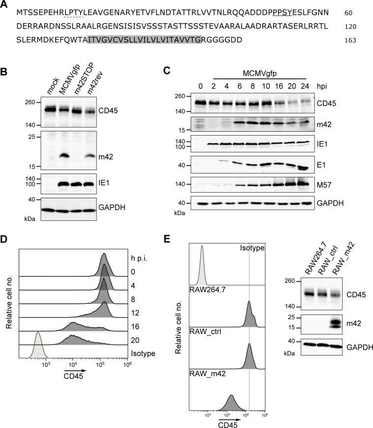 Detection of ORF m42-encoded proteins and kinetics of CD45 down-regulation. (A) Predicted amino acid sequence of the m42 protein with the LPTY (dotted line) and PPSY (underlined) motifs and the putative membrane anchor (gray) marked. (B) RAW264.7 cells were either mock-infected or infected with MCMVgfp, MCMVgfp-m42STOP or MCMVgfp-m42rev, and 24 h p.i. cells were analyzed by immunoblotting for CD45 and m42 expression. IE1 (immediate-early protein 1) served as infection marker and GAPDH as loading control. (C, D) RAW264.7 cells were infected with MCMVgfp, lysed at the indicated time points and expression of CD45 and the viral proteins m42, IE1, E1 and M57 was analyzed by immunoblotting with the respective antibodies. E1, early protein 1; M57, ssDNA-binding protein. (D) In parallel, CD45 surface expression in the MCMVgfp-infected RAW264.7 cells was assessed by flow cytometry. (E, left panel) CD45 surface levels of the parental RAW264.7 cells, the control cell line RAW_ctrl (obtained after transduction with the empty retroviral vector), and the m42-expressing cells were examined by flow cytometry. (right) Expression of CD45, m42 and GAPDH (loading control) in the respective cell lines was determined by immunoblotting.