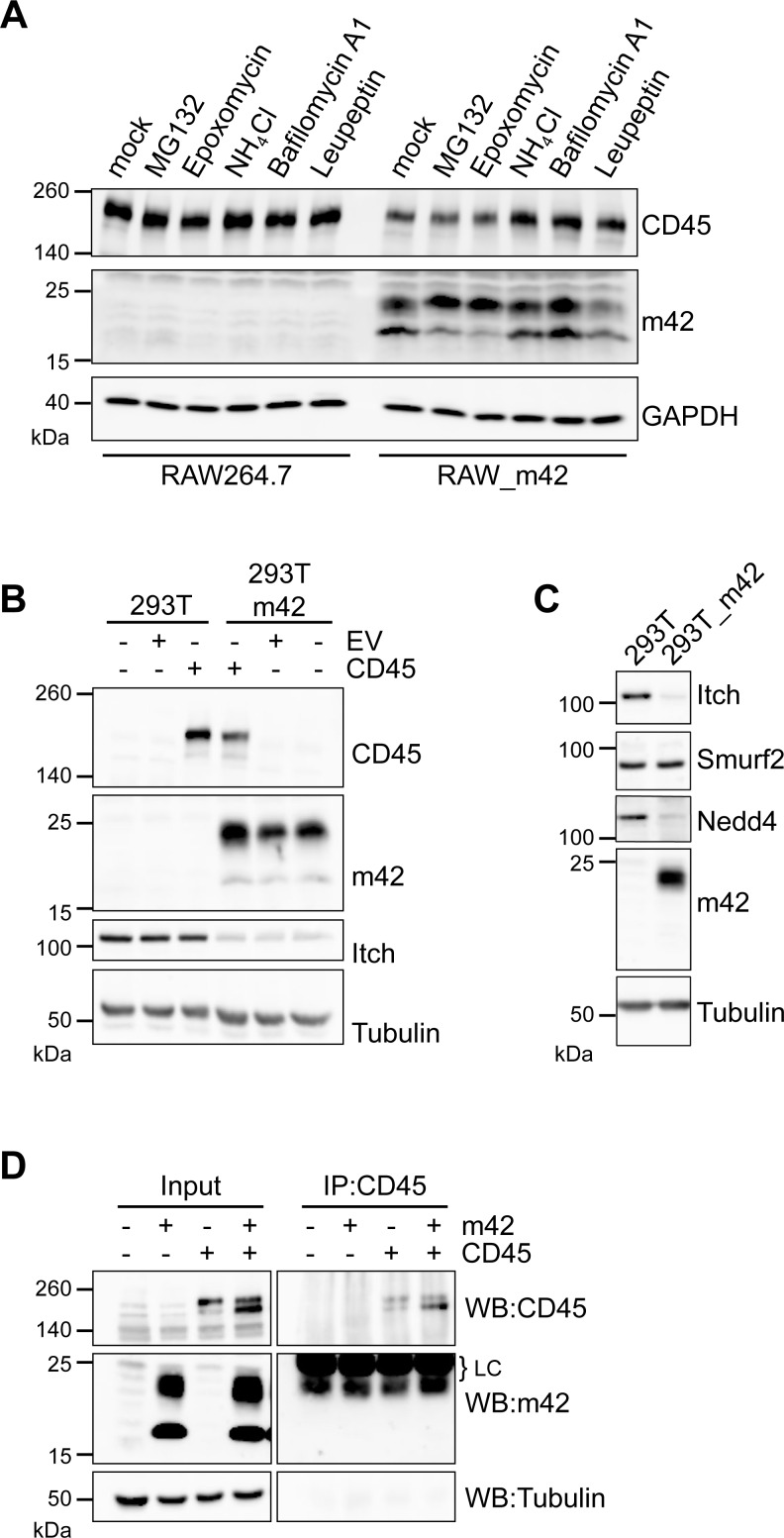 Inhibition of CD45 downregulation in m42-expressing cells by lysosomal inhibitors and interference of m42 with Nedd4-like E3 ubiquitin ligases. (A) RAW264.7 or RAW_m42 were left untreated or were treated with proteasome inhibitors (MG132, Epoxomycin) or lysosome inhibitors (NH 4 Cl, Bafilomycin A1, Leupeptin) for 4 h, followed by immunoblot analysis of CD45 and m42 expression. GAPDH served as loading control. (B, C) HEK 293T cells or a HEK 293T-based cell line stably expressing m42 were either mock transfected or transfected with an empty vector (EV) or a vector encoding murine CD45RB. 48 h post transfection cell lysates were analyzed by immunoblotting for CD45, m42, Itch, Smurf2 and Nedd4 protein expression. α-tubulin served as loading control. (D) HEK 293T cells were transfected with expression vectors for m42 or CD45RB or both vectors and 48 h later cell lysates were subjected to immunoprecipitation with a CD45 antibody. Proteins in lysates and precipitates were detected by immunoblotting using the indicated specific antibodies. LC indicates the signals of the antibody light chain.