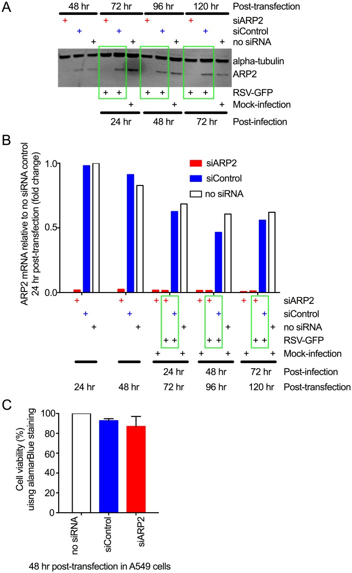 ARP2 knockdown in human respiratory epithelial A549 cells. (A) Knockdown of ARP2 protein expression. Replicate monolayers of A549 cells were transfected with siARP2, siControl, or no siRNA, as indicated. At 48 hr post-transfection, one set of monolayers was harvested. The others were infected with RSV-GFP (MOI = 1) or mock-infected, and harvested at 24, 48, and 72 hpi, as indicated. The cells were processed for Western blotting. ARP2 protein was detected using a primary rabbit mAb and an anti-rabbit IgG IRDye800 secondary Ab. Alpha-tubulin, as a loading control, was detected with a primary mouse mAb and an anti-mouse IgG IRDye680 secondary Ab. Bound antibodies were visualized by infrared fluorescence. One representative of four independent experiments is shown. (B) Knockdown of ARP2 mRNA expression. A549 cells were transfected with siARP2, siControl, or no siRNA, as indicated. Sets of monolayers were harvested 24 and 48 hr post-transfection. The remaining monolayers were infected with RSV-GFP (MOI = 1) or mock-infected, and harvested at 24, 48, and 72 hpi, as indicated. Total cell-associated ARP2 mRNA was quantified by real-time PCR using a TaqMan assay for ARP2. 18S ribosomal RNA was used as an endogenous control for normalization of each reaction, and the values of ARP2 expression are shown as fold-change relative to the no-siRNA control 24 hr post-transfection. Each sample was tested in quadruplicate by TaqMan assay and the averages are presented. (C) ARP2 knockdown did not reduce cell viability. A549 cells were transfected with siARP2, siControl or no siRNA for 48 hr. Cell viability was compared using alamarBlue and expressed relative to the no-siRNA control. Data from three independent experiments, each done in triplicate were combined for analysis. Error bars show standard deviation (SD).