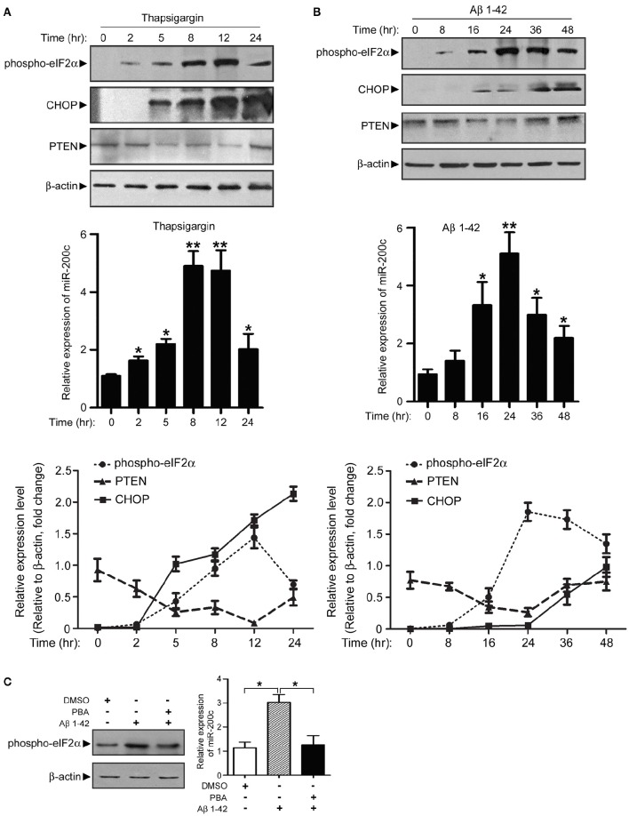 Expression of miR-200c is regulated by Aβ-induced ER stress. (A) PC12 cells were treated with thapsigargin and cell lysate was harvested at different time points as indicated. Phospho-elF2α, CHOP, and PTEN were detected by immunoblotting (left panel). Total RNA was also extracted and subjected to qPCR analysis of miR-200c (right panel). Expression level of miR-200c is represented as the fold change compared to time point 0. (B) PC12 cells were treated with Aβ, followed by similar experiments described in (A) . Data are represented as mean ± SEM. ( * P